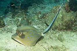 Kuhls Stingray near the bottom during a dive at the Similan Islands