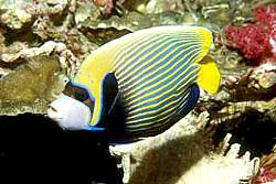 EMPEROR ANGELFISH, fotogafed at the Similans
