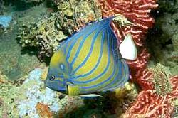 RING ANGELFISH, often encountered at the Similans