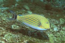LINED SURGEONFISH at he Similan Islands