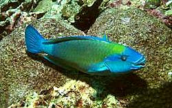 EMBER PARROTFISH at Similan Island number 4