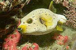 BLACKSPOTTED PUFFERFISH at Shark Point