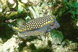 WHITESPOTTED BOXFISH
