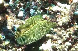 MUSHROOM CORAL comonly found at the Similan Islands