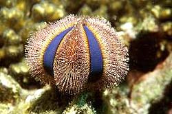 GLOBE SEA URCHIN seen at the Similan Islands and in Burma