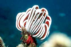 FEATHER STAR, seen at the Similans during night dives