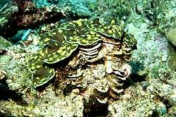 SQUAMOSE GIANT CLAM at the Similans