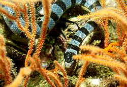 BANDED SEA SNAKE at the Similan Islands