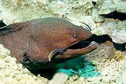 GIANT MORAY at the Similans