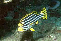 ORIENTAL SWEETLIPS at the Similan Islands
