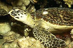 HAWKSBILL TURTLE, very common at the Similan Islands