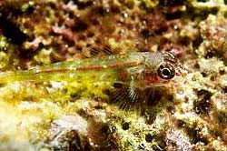 GREEN PYGMY GOBY at the Similan Islands