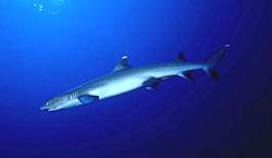 White-Tip Reef Shark at the Similan Islands