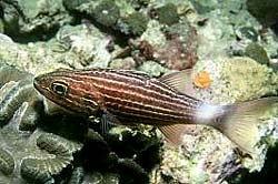 TIGER-CARDINALFISH at Similan Island Number 4