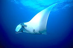 Manta Ray Liveaboard diving cruising and liveaboards to Similan island with Dive Asia