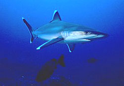 Grey Reef Shark near the Similan Islands